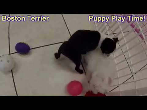 Boston Terrier, Puppies, For, Sale, In, Cedar Rapids, Iowa, IA, West Des Moines, Ames, Council Bluff