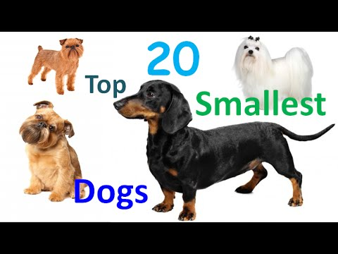 Top 20 Smallest Dogs In The World – 20 Smallest Dog Breeds In All Time