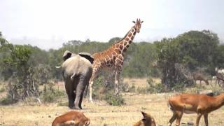 Angry Elephant chases Giraffes