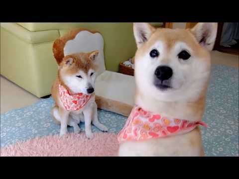 柴犬ひかり15歳のかわいい足踏み Shiba Inu's foot stepping