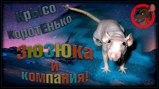 Крыса сфинкс | Зюзюка и компания. (Fancy Rats | Декоративные Крысы)