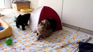 Welpi's im Zelt