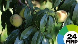 В ногу со временем: в Армении развивают интенсивное садоводство - МИР 24