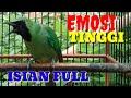 Cucak Ijo Gacor Full Emosi Tinggi Bongkar Isian Cocok Buat Pancingan  Mp3 - Mp4 Download
