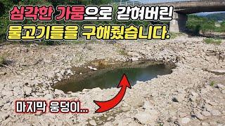 (지난 여름) 극심한 가뭄속 웅덩이에 갇혀버린 물고기들을 발견했습니다.[TV생물도감]