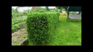Живая изгородь из ели, правильная подрезка и формирование ели на собственном примере, обрезка ели