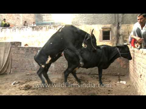 Black Cows Mating In India