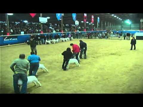 Junior Market Goat Show - Broadcast - Competitive Events Rodeo Austin