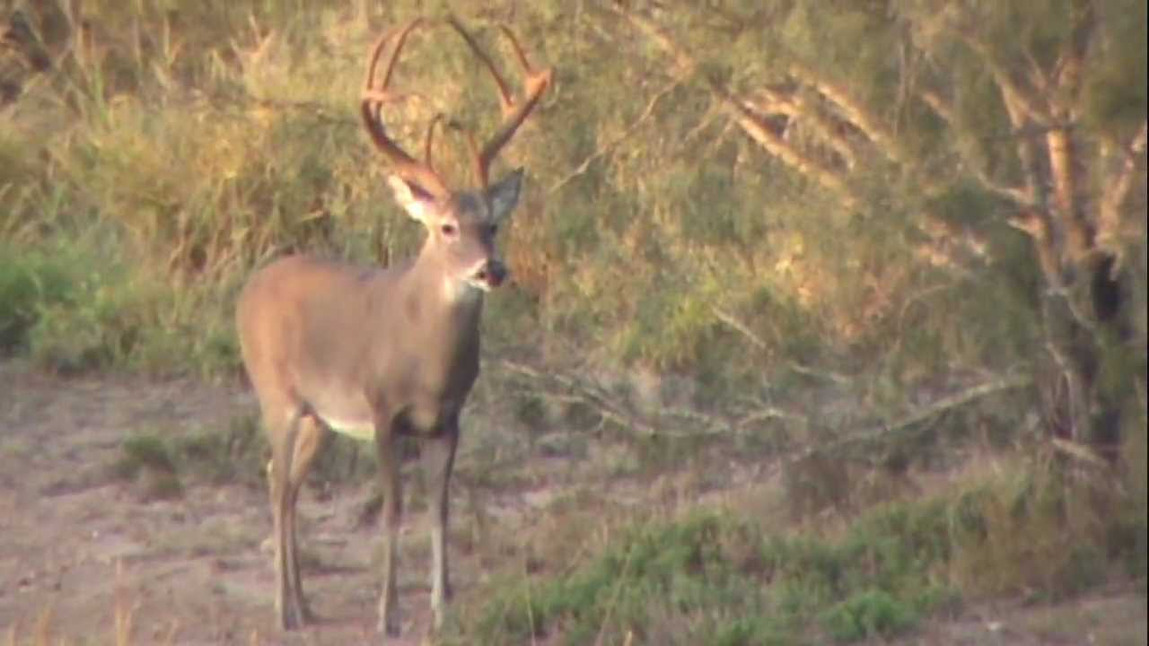 South Texas 8 Point Trophy Buck Youtube