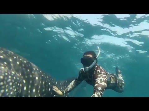 whale shark in kingdom of bahrain
