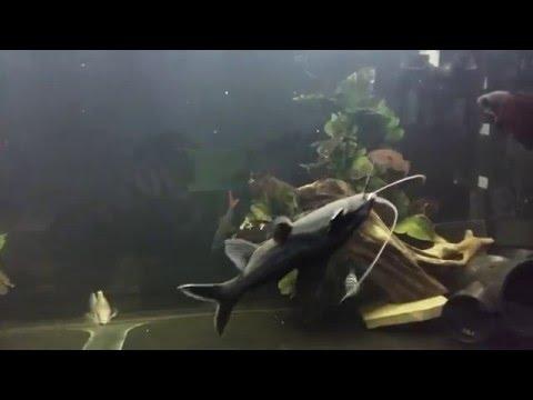 Huge Upside Down Catfish Scares Cichlids