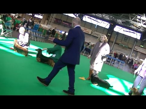 Standard Long Hair Dachshund in Crufts 2017 A