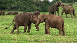 Play time of baby elephants at the Kaudulla Park !