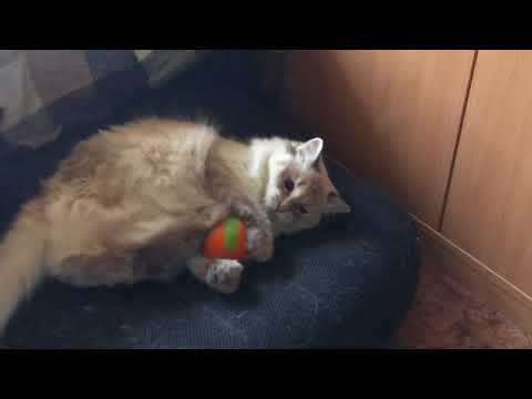 A cat and a ball (Siberian cat playing)