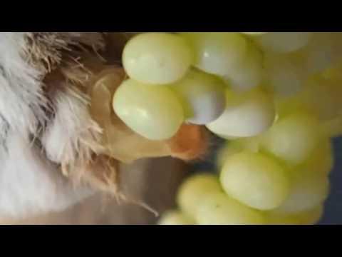 Eri silkworm Egg laying movie