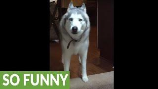 Husky throws hilarious mid-day temper tantrum