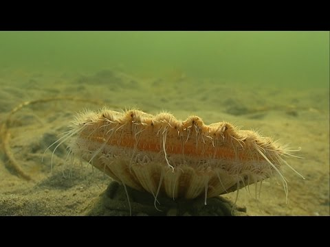 Must see: crazy Clam / Sea Scallop swimming / jumping underwater. Морской гребешок. Almeja あさり 多头