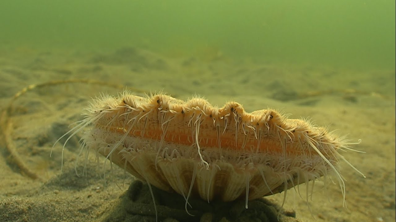 Must see: cute Clam / Sea Scallop swimming / jumping underwater. Морской гребешок. Almeja あさり 多头