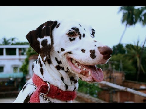 "Dog training | Dalmatian Dog Training | Dalmatian | Cute ""Candy"" 