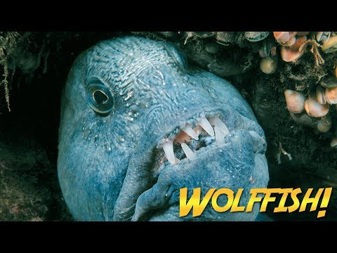 Wolffish & Wolf Eels | JONATHAN BIRD'S BLUE WORLD