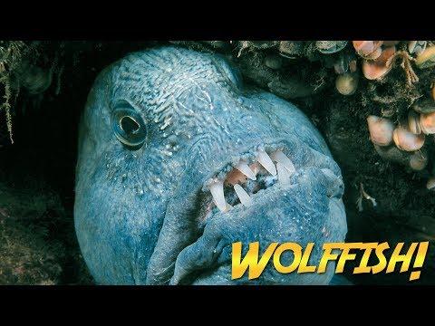 Wolffish & Wolf Eels | JONATHAN BIRD'S BLUE WORLD