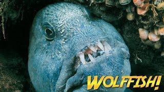 Wolffish & Wolf Eels