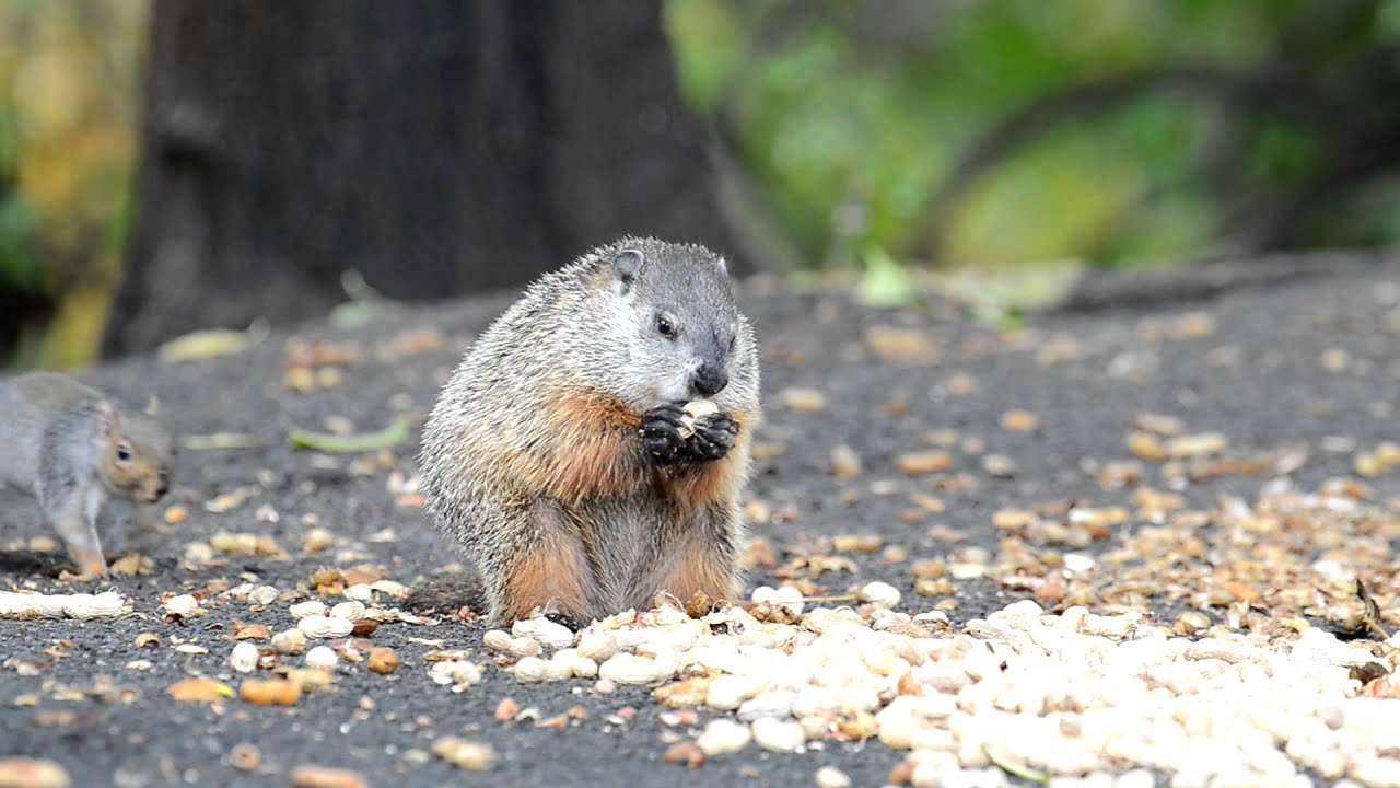 groundhog eating peanuts youtube