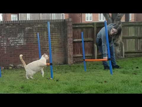 Agility Training - Blue The Siamese