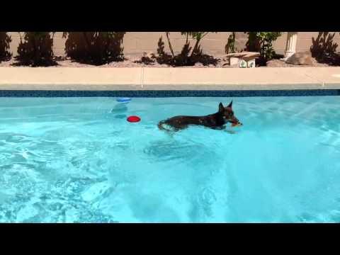 Lennon the Australian Kelpie swimming