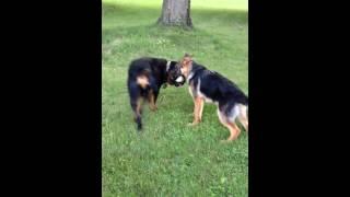 German Shepherd, Rottie, And Staffy