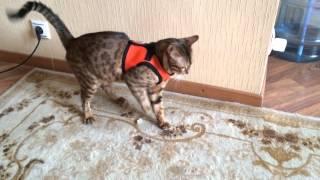 Кот в новой шлейке как ты после пьянки!