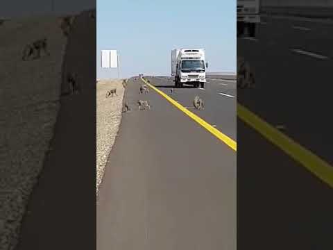OMG donkey crossing big highway in Jeddah