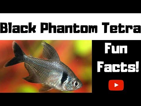 Black Phantom Tetra Fun Facts