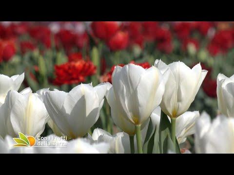 Puntata dell'11/4/21 – 4° parte – I mille colori dei tulipani