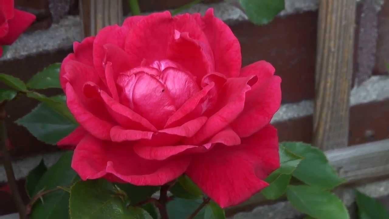 Rote Rosen 6