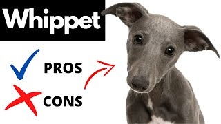 Whippet Pros And Cons | The Good AND The Bad!!