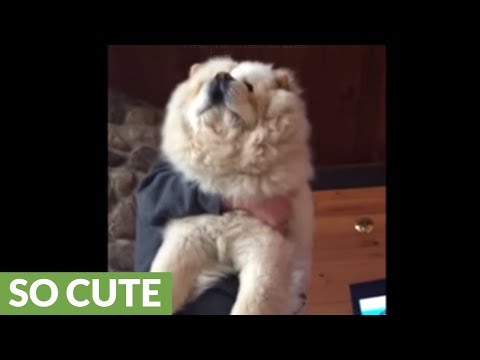 Giant fluffy dog loves to be held