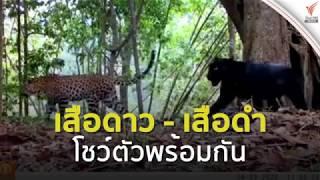 """""""เสือดาว - เสือดำ"""" โชว์ตัวพร้อมกัน อุทยานแห่งชาติคลองลาน"""