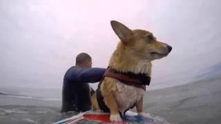 Up-close Footage Of Surfing Corgi!