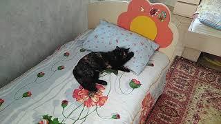 Наглая бессовестная кошка спит на подушке