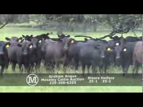 Black angus bulls for sale in georgia