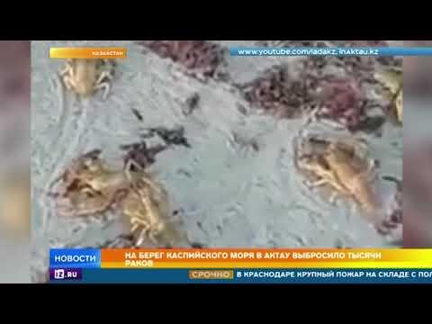 Тысячи раков выбросило на берег Каспийского моря