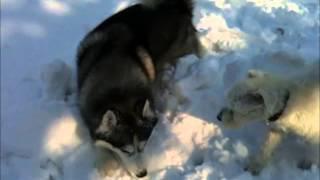 Snowtime: White Miniature Schnauzer, German Shepherd And Husky
