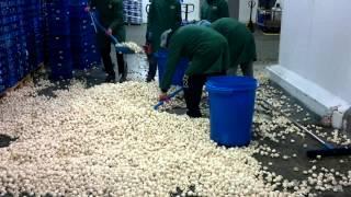 Pakowanie pieczarek/ Mushrooms packing