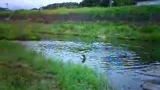 川で泳ぐワイマラナー.