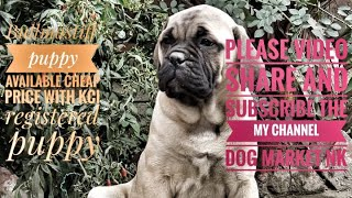 Top Quality Bullmastiff With KCI Registered Puppy Video Contact 7357 655 281 dog market Nk