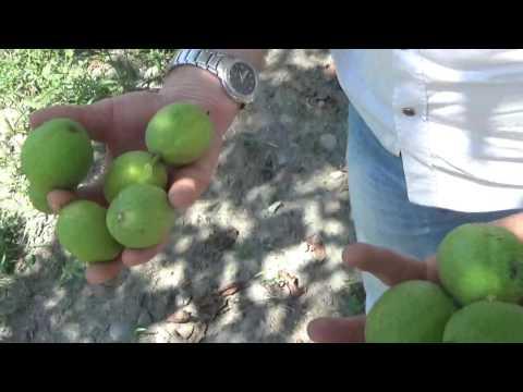 sapanca cevizi  sakarya sapanca ceviz yetiştiriciliği  ceviz ağaçlarında verim  kalite