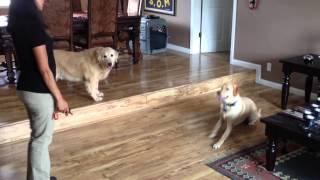 Reno Dog Trainer Teaches A Labrador Retriever Some House Manners