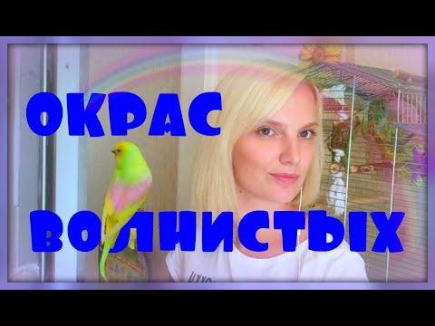 ОКРАСЫ ВОЛНИСТЫХ ПОПУГАЕВ!!!