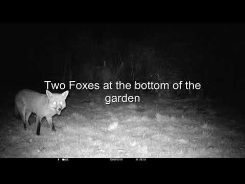 Two Foxes At The Bottom Of The Garden